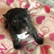 French Bulldog Puppy For Sale near 29414, Charleston, SC, USA