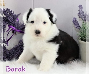 Australian Shepherd Puppy for Sale in DANVILLE, Pennsylvania USA