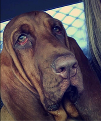 Bloodhound Puppy For Sale in HILLSBORO, OR