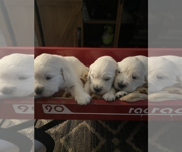 Medium Photo #10 English Cream Golden Retriever Puppy For Sale in ARCHBALD, PA, USA