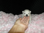 Pomeranian Puppy For Sale in GREENVILLE, GA