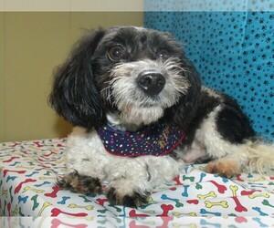 Maltipoo Puppy for sale in PATERSON, NJ, USA