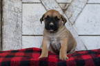 Boerboel Puppy For Sale in CUYAHOGA FALLS, OH, USA