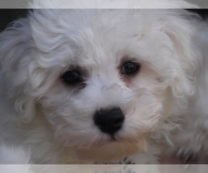 Bichon Frise Puppy for Sale in TWIN LAKE, Michigan USA