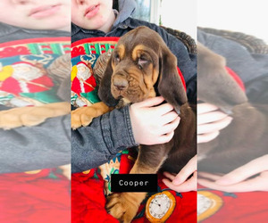 Bloodhound Puppy for Sale in HARRODSBURG, Kentucky USA