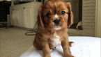Cavalier King Charles Spaniel Puppy For Sale in JACKSON, MS, USA