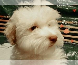 Havanese Puppy for Sale in FENTON, Missouri USA