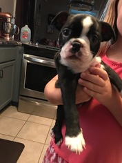 Boston Terrier Puppy For Sale in KATY, TX, USA