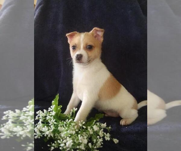 Medium Photo #3 Jack-A-Ranian Puppy For Sale in FREDERICKSBG, OH, USA