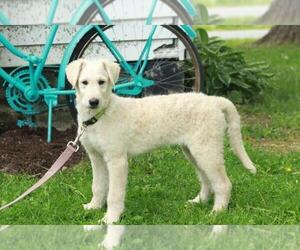 Shepadoodle Puppy for sale in SHILOH, OH, USA