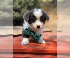 Pembroke Welsh Corgi Puppy for Sale in OROFINO, Idaho USA