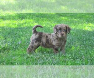 Miniature Labradoodle Puppy for sale in NEWARK, DE, USA