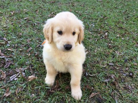 View Ad: Golden Retriever Puppy for Sale near In Russia