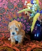 Cavalier King Charles Spaniel-Poodle (Toy) Mix Puppy For Sale in FREWSBURG, NY, USA