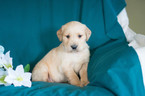 Golden Retriever Puppy For Sale in CUYAHOGA FALLS, OH, USA