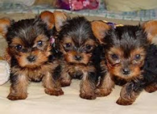 Yorkshire Terrier Dog For Adoption in LOS ANGELES, CA
