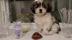 Lhasa Apso Puppy For Sale in WELLESLEY, MA, USA