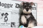 Schnauzer (Miniature) Puppy For Sale in BEL AIR, MD, USA