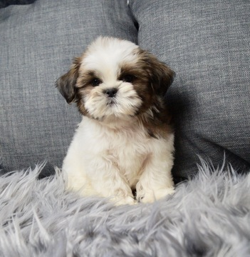 Gallery Of Photos For Ad Adn 93023 Photo 1 Shih Tzu Puppy For Sale