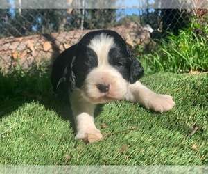 English Springer Spaniel Puppy for Sale in FALLBROOK, California USA