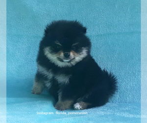 Pomeranian Puppy for sale in WEST PALM BEACH, FL, USA
