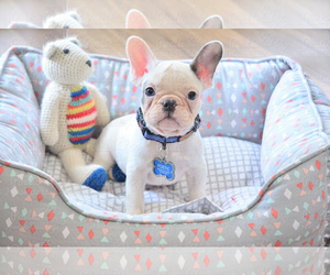 French Bulldog Puppy for Sale in FORT LAUDERDALE, Florida USA