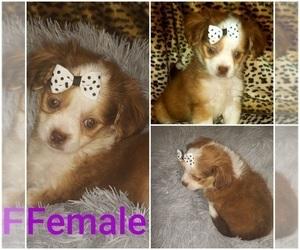 ShiChi Puppy for Sale in OTTAWA, Ohio USA