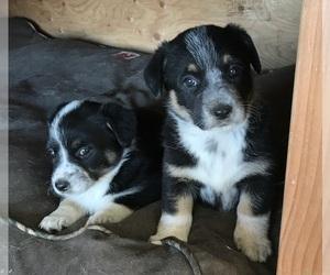 Cowboy Corgi Puppy for sale in MOLT, MT, USA
