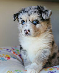 Pomsky Puppy For Sale in DETROIT, MI, USA