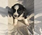Puppy 3 Australian Shepherd