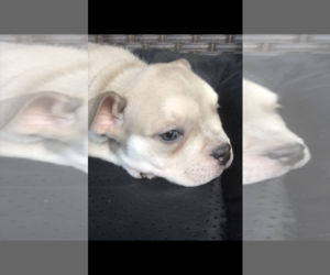 American Bully Dog for Adoption in HOMESTEAD, Florida USA