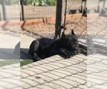 Puppy 4 Cane Corso