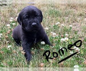 Cane Corso-Dogue de Bordeaux Mix Puppy for Sale in ANNAPOLIS, Washington USA