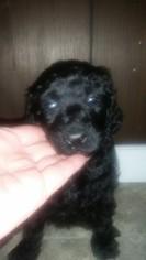 Poodle (Standard) Puppy For Sale in TEKONSHA, MI, USA