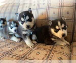 Siberian Husky Puppy for Sale in BLACK FOREST, Colorado USA
