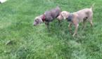 Weimaraner Puppy For Sale in LEO, IN