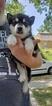 Puppy 2 Alaskan Malamute