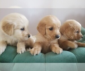 Golden Retriever Puppy for sale in ORLAND PARK, IL, USA