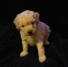 Goldendoodle Puppy For Sale in WALKERTON, IN