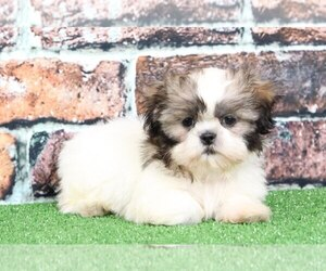 Cava-Tzu Puppy for sale in BEL AIR, MD, USA