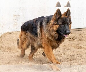 Father of the German Shepherd Dog puppies born on 08/26/2020