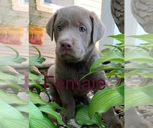 Labrador Retriever Puppy for Sale in ALBANY, Missouri USA
