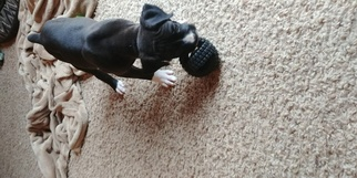 Boxer Puppy For Sale in ORLEANS, MI, USA