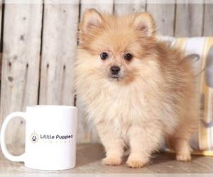 Pomeranian Dog for Adoption in MOUNT VERNON, Ohio USA