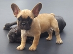 French Bulldog Puppy For Sale in NEW BRAUNFELS, TX