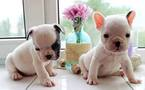 French Bulldog Puppy For Sale in EDISON, NJ