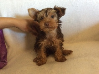 Yorkshire Terrier Puppy For Sale in BOWLING GREEN, MO, USA