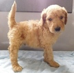 Goldendoodle Puppy For Sale in MIDDLEBURY, IN, USA
