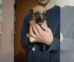 Puppy 9 American Staffordshire Terrier