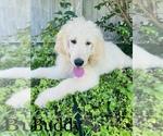 Small #2 Poodle (Standard)-Saint Berdoodle Mix